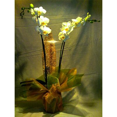 Angyali Üdvözlet - Orchidea